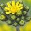Marie  Portas - Hieracium cymosum L. [1763]