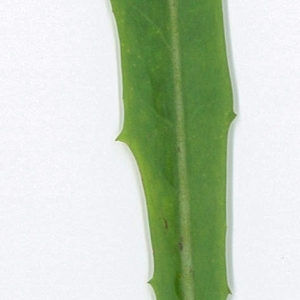 Photographie n°198007 du taxon Cichorium intybus L. [1753]