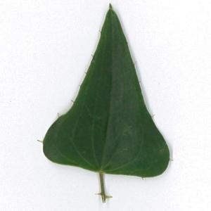 Photographie n°198161 du taxon Smilax aspera L. [1753]