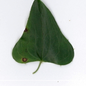 Photographie n°198162 du taxon Smilax aspera L. [1753]