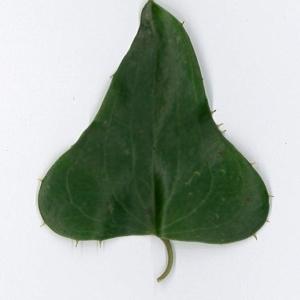 Photographie n°198169 du taxon Smilax aspera L. [1753]
