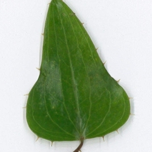 Photographie n°198174 du taxon Smilax aspera L. [1753]