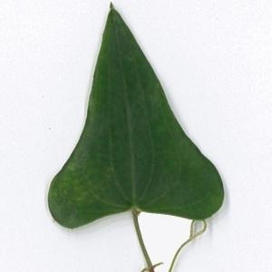 Photographie n°198175 du taxon Smilax aspera L. [1753]