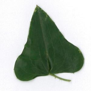 Photographie n°198178 du taxon Smilax aspera L. [1753]
