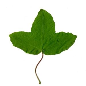 Photographie n°198390 du taxon Acer monspessulanum L. [1753]