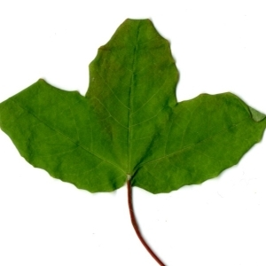 Photographie n°198394 du taxon Acer monspessulanum L. [1753]