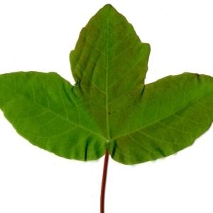 Photographie n°198395 du taxon Acer monspessulanum L. [1753]