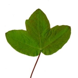 Photographie n°198396 du taxon Acer monspessulanum L. [1753]