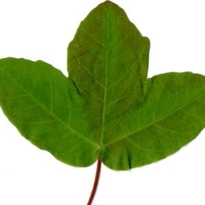 Photographie n°198397 du taxon Acer monspessulanum L. [1753]