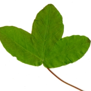Photographie n°198398 du taxon Acer monspessulanum L. [1753]