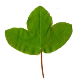 Photographie n°198399 du taxon Acer monspessulanum L. [1753]