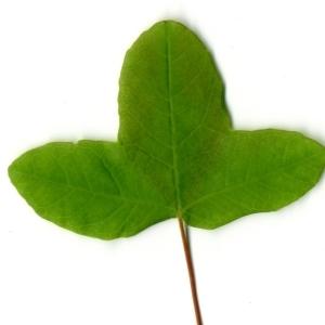 Photographie n°198400 du taxon Acer monspessulanum L. [1753]