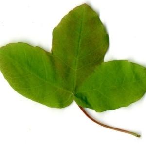 Photographie n°198401 du taxon Acer monspessulanum L. [1753]