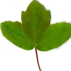 Photographie n°198402 du taxon Acer monspessulanum L. [1753]