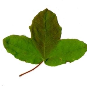 Photographie n°198403 du taxon Acer monspessulanum L. [1753]