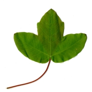 Photographie n°198404 du taxon Acer monspessulanum L. [1753]