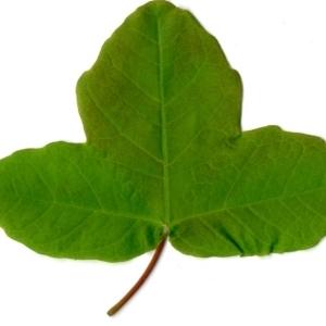 Photographie n°198405 du taxon Acer monspessulanum L. [1753]