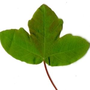 Photographie n°198409 du taxon Acer monspessulanum L. [1753]