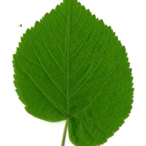 Photographie n°198567 du taxon Tilia platyphyllos Scop. [1771]