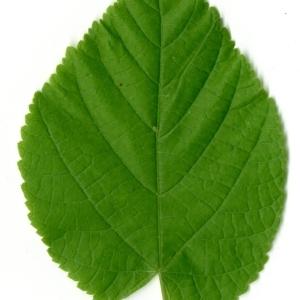 Photographie n°198573 du taxon Tilia platyphyllos Scop. [1771]