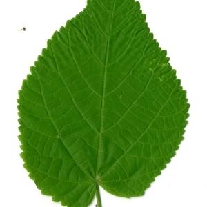 Photographie n°198576 du taxon Tilia platyphyllos Scop. [1771]