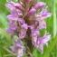 Jean-Claude Echardour - Dactylorhiza incarnata subsp. incarnata