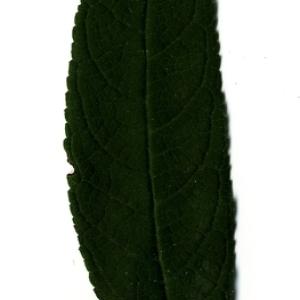 Photographie n°199028 du taxon Buddleja davidii Franch. [1887]