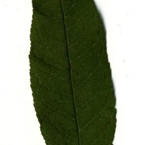 Photographie n°199031 du taxon Buddleja davidii Franch. [1887]