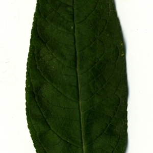 Photographie n°199032 du taxon Buddleja davidii Franch. [1887]