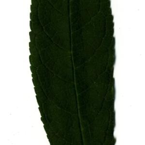 Photographie n°199033 du taxon Buddleja davidii Franch. [1887]