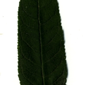Photographie n°199035 du taxon Buddleja davidii Franch. [1887]