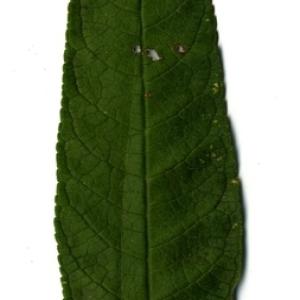 Photographie n°199036 du taxon Buddleja davidii Franch. [1887]