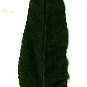 Photographie n°199037 du taxon Buddleja davidii Franch. [1887]