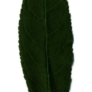 Photographie n°199039 du taxon Buddleja davidii Franch. [1887]