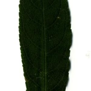 Photographie n°199040 du taxon Buddleja davidii Franch. [1887]