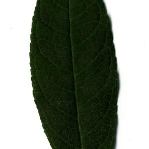 Photographie n°199041 du taxon Buddleja davidii Franch. [1887]