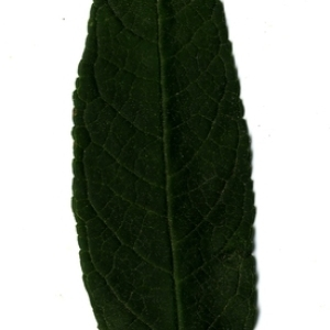 Photographie n°199042 du taxon Buddleja davidii Franch. [1887]
