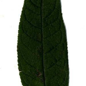 Photographie n°199043 du taxon Buddleja davidii Franch. [1887]