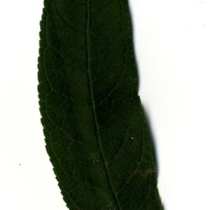 Photographie n°199045 du taxon Buddleja davidii Franch. [1887]
