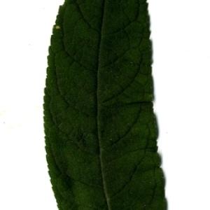 Photographie n°199049 du taxon Buddleja davidii Franch. [1887]