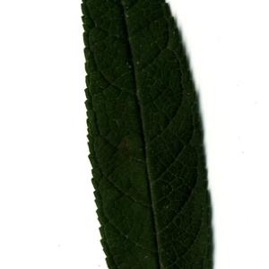 Photographie n°199050 du taxon Buddleja davidii Franch. [1887]