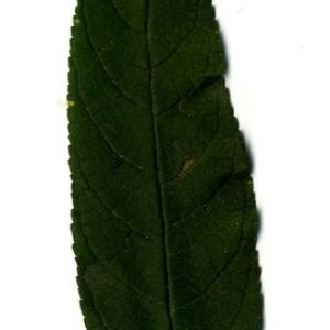 Photographie n°199051 du taxon Buddleja davidii Franch. [1887]