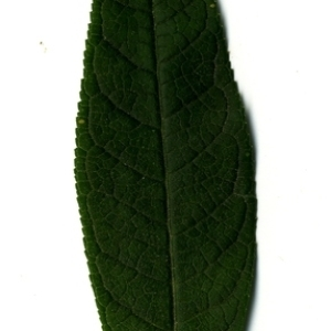 Photographie n°199053 du taxon Buddleja davidii Franch. [1887]