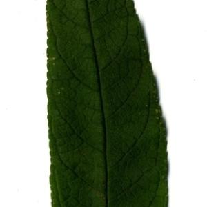 Photographie n°199054 du taxon Buddleja davidii Franch. [1887]