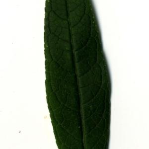 Photographie n°199056 du taxon Buddleja davidii Franch. [1887]