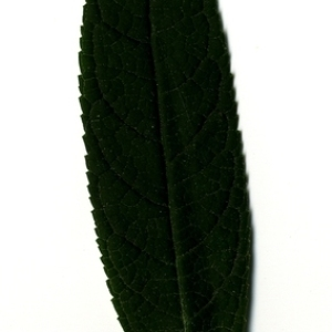 Photographie n°199059 du taxon Buddleja davidii Franch. [1887]