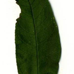 Photographie n°199060 du taxon Buddleja davidii Franch. [1887]