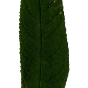 Photographie n°199061 du taxon Buddleja davidii Franch. [1887]