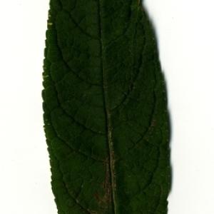 Photographie n°199063 du taxon Buddleja davidii Franch. [1887]