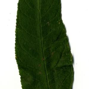 Photographie n°199065 du taxon Buddleja davidii Franch. [1887]